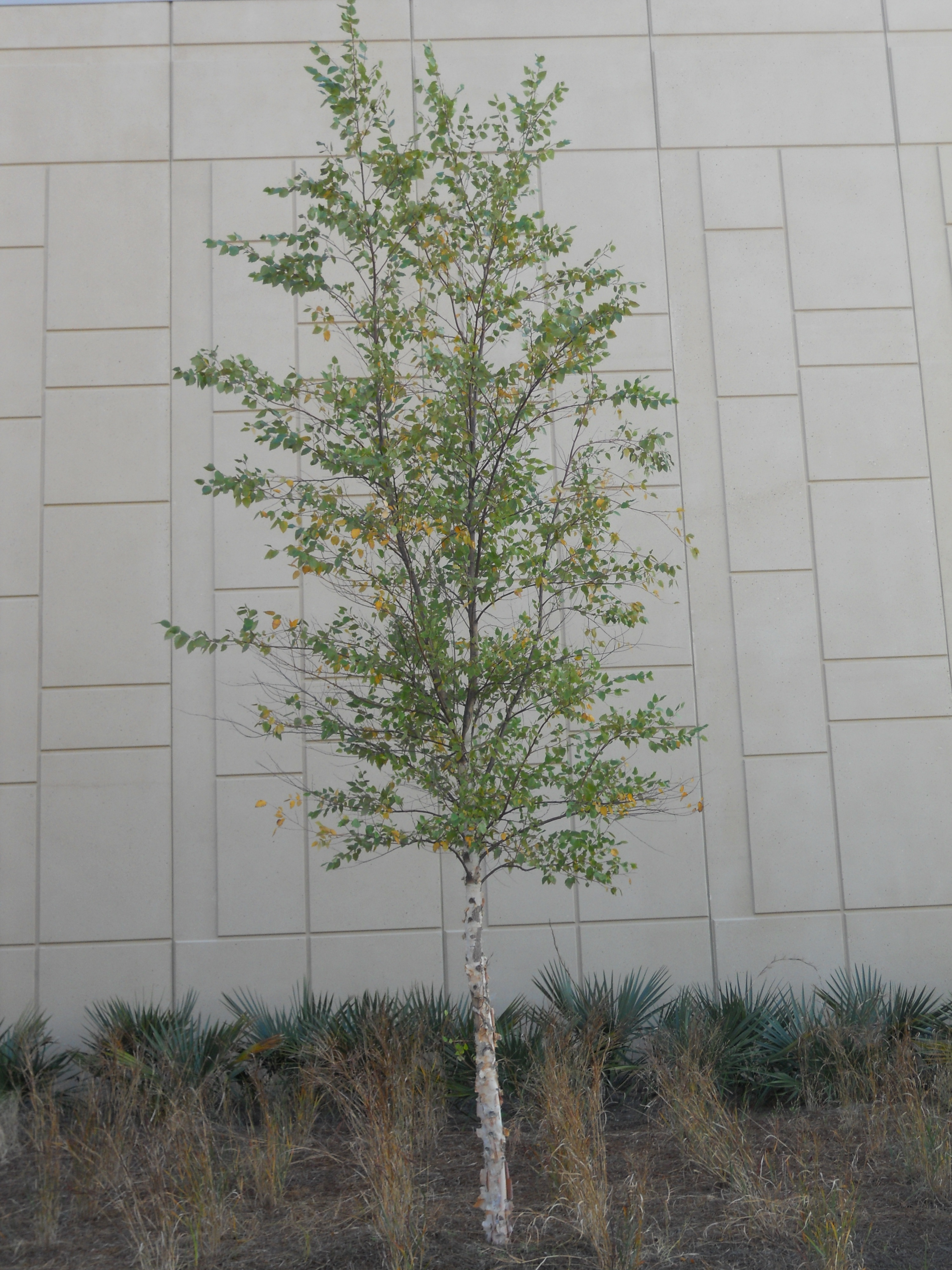 List of trees for Small slender trees